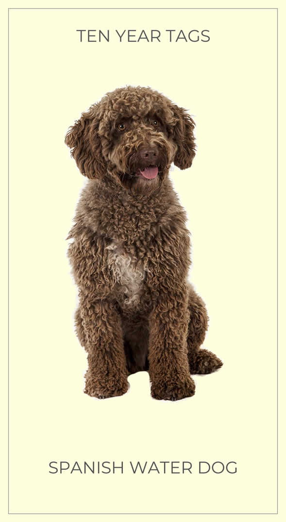Spanish Water Dog Trading Card